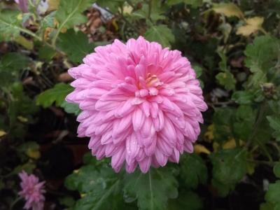 Chrysantheme,rosa,großblumig,gefüllt 6 bewurzelte Stecklinge