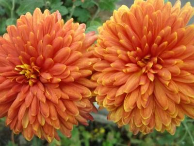 Chrysantheme,bronze,großblumig,gefüllt 6 bewurzelte Stecklinge