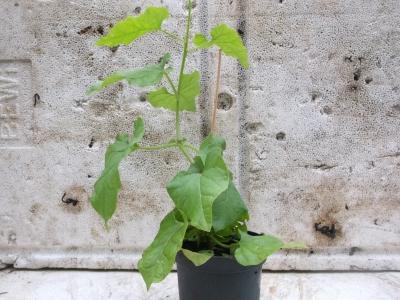 Kaukasischer Rankspinat Hablitzia tamnoides Pflanze