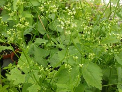 Japanische Petersilie Mitsuba Pflanze