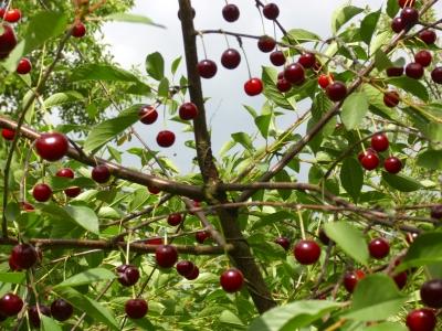 Wildsauerkirsche aus Polen Weichselkirsche Pflanze