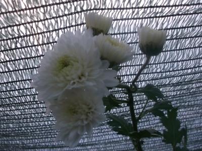 Chinesische Teechrysantheme Ju Hua Pflanze