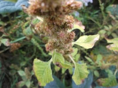 Amaranth Guatemalan Pflanze