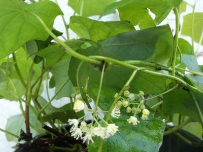 Kanadischer Mondsame Menispermum canadense Pflanze