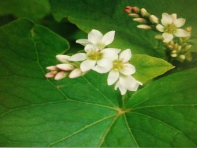 Echter Buchweizen Fagopyrum esculentum Pflanze