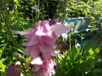 Akelei Barlow Rosa gefüllt Aquilegia vulgaris Samen