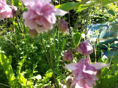 Akelei Barlow Rosaweiß gefüllt Aquilegia vulgaris Samen