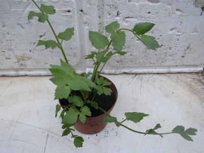 Sedanina Apium nodiflorum Samen