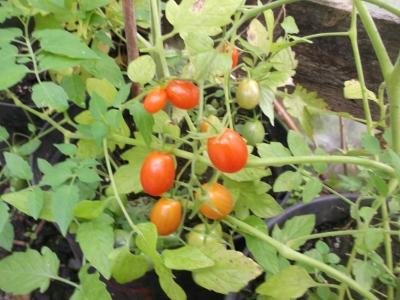 Tomate Rotes Tröpfchen Samen