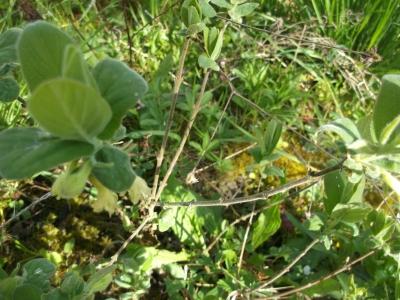 Kamtschatkabeere Pflanze