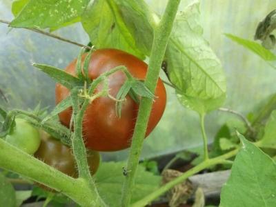 Tomate Bedouine Samen
