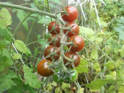 Tomate Schokoladenperle Samen
