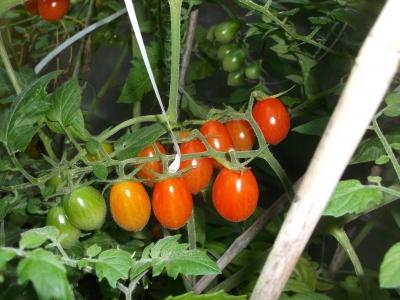 Tomate Datteltomate rot Samen