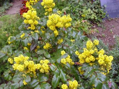 Mahonie Mahonia aquifolium Samen