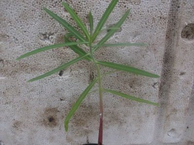 Wühlmauswolfsmilch Euphorbia lathyris Pflanze