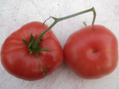 Tomate Mariannas Peace Samen