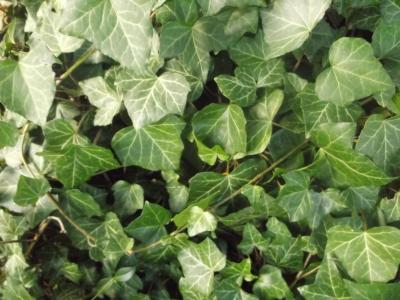 Echter Efeu Pflanze