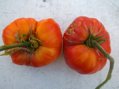 Tomate Fleischtomate Big Rainbow Pflanze