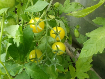 Tomate Bianca Pflanze