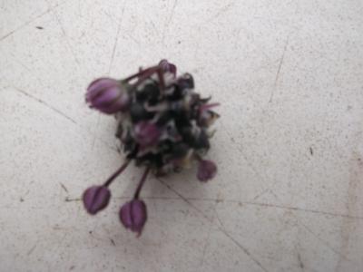 Weinberglauch Allium vineale Samen