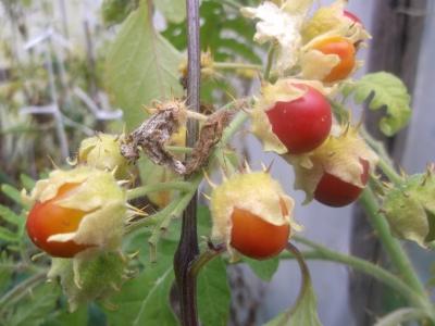 Litschitomate Solanum sisymbriifolium Samen