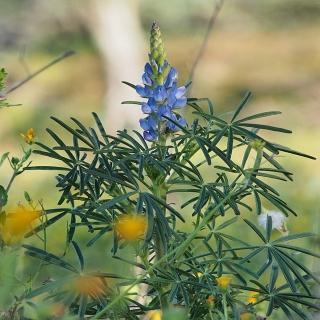 Blaue Süßlupine Tango Samen