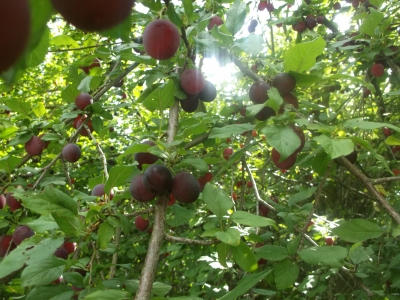 Kirschpflaumenwildling (Prunus-Kreuzung) Samen