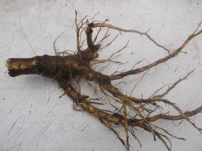 Weberkarde Kardendistel Dipsacus sativus Wurzel