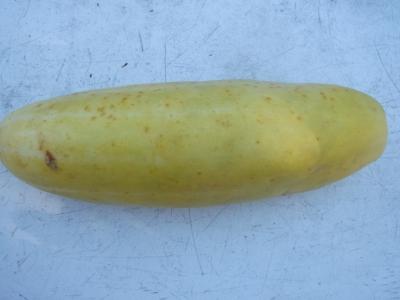 Gurke Dickfleischige Gelbe Samen