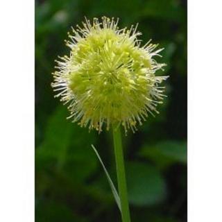 Scharfer Gelblauch Allium obliquum Samen