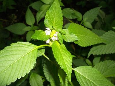 Gemeiner Wirbeldost Pflanze