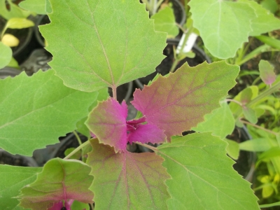 Baumspinat Riesengänsefuß Samen