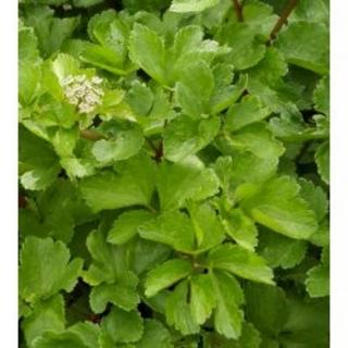 Schottische Mutterwurz Ligusticum scoticum Samen