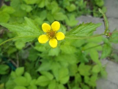 Echte Nelkenwurz Geum urbanum Pflanze