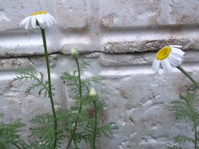 Römischer Bertram Pflanze