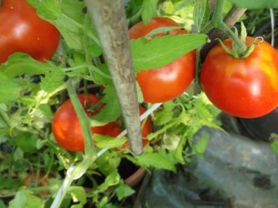 Tomate Black Prince Pflanze
