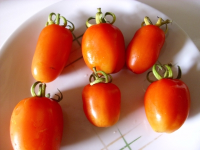 Tomate San Marzano Pflanze