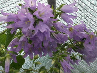 Waldglockenblume Campanula latifolia var.macrantha Pflanze