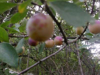 Rumänische Zuckermirabelle Pflanze