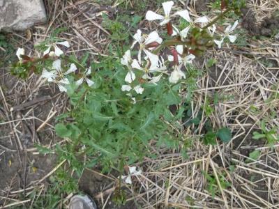 Wilde Nussrauke aus der Türkei Pflanze