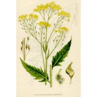 Türkische Rauke Pflanze