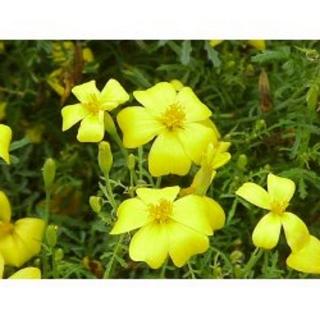 Zitronentagetes Lemon Gem Pflanze