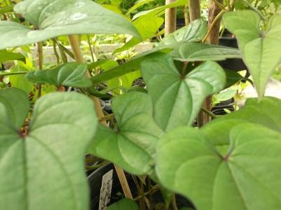 Chinesische Yamswurzel Shan Yao Pflanze