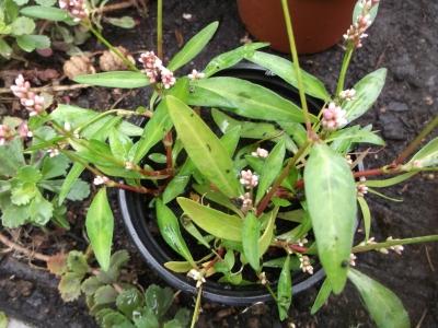 Pfefferknöterich Pflanze