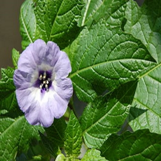 Blaue Lampionblume Pflanze
