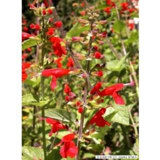 Blutsalbei Salvia coccinea Pflanze