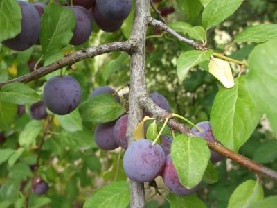 Mirabelle blaue Prunus domestica Samenkerne