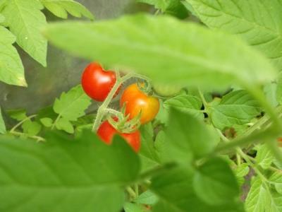 Tomate Mexikanische Honigtomate Samen