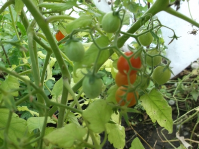 Tomate Minitomate Samen