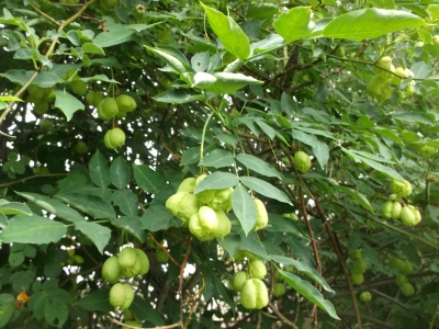 Pimpernuss Staphylea pinnata Samen